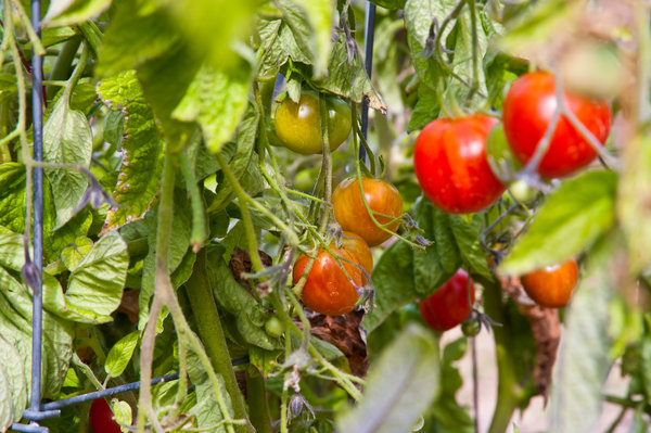 Tomaten anbauen Pflanze