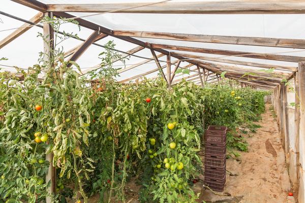 Industriegewächshaus kaufen Tomaten