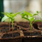 Pflanzen wachsen in Mini-Gewächshaus