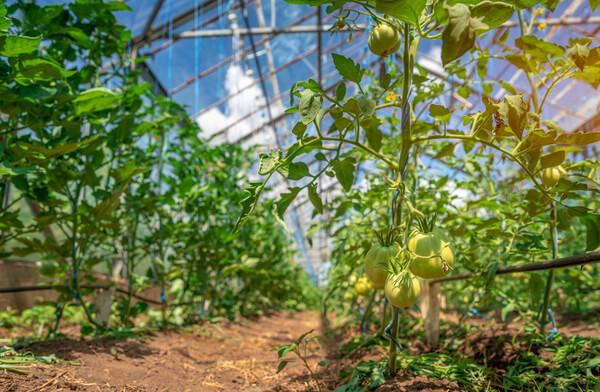 Angebaute Tomaten im Gewächshaus