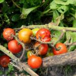 Faule Tomaten