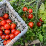 Geerntete Tomaten im Korb