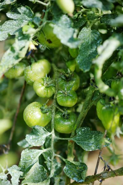 Kranke Tomate mit weißen Flecken