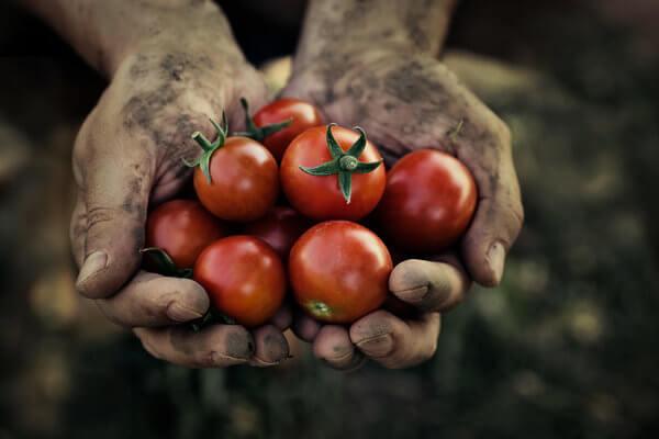 Viele rote Tomaten in zwei Händen