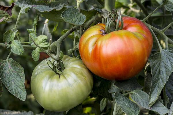 Grüne Tomate und rote Tomate